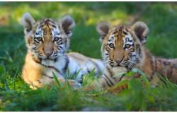 Празднуем День тигра!